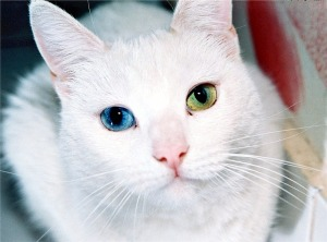 white cat with different-colored eyes